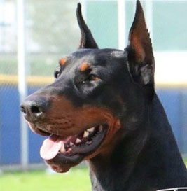 European Doberman Std Inc Quality Breeding With Superior